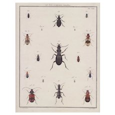 Carabe Carabus. French 18th Century Engraving.