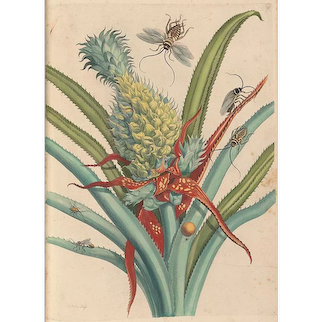Maria Sibylla Merian (1647-1717), engravings from original works 'Insectorum Metamorphosis Surinamensium', Amsterdam, 1705-1771. Available at RAMSAY