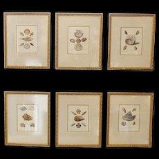 Set Of Six 18th Century Hand Colored Sea Shell Engravings, Knorr & Conrad Kleemann