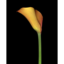 John Woolf, Orange Lily, 2015