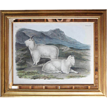 JOHN WOODHOUSE AUDUBON Colored Lithograph, Rocky Mountain Goat