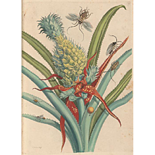 Maria Sibylla Merian (1647-1717), engravings from original works 'Insectorum Metamorphosis Surinamensium', Amsterdam, 1705-1771. Available at RAMSAY