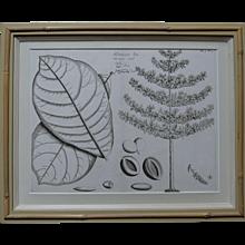 Hortus Malabaricus, available at RAMSAY