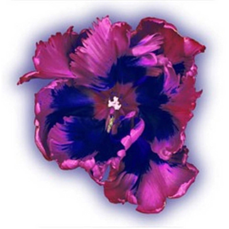 Howard Schatz - Flaming Parrot Tulip I
