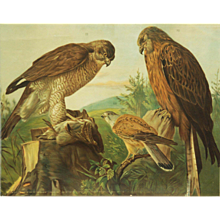 "German School, Teaching Chart, Poster ""Birds Of Prey"""