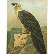 "German School, Teaching Chart, Poster ""Eagle"""