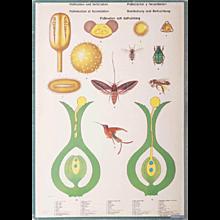 "Antique Swedish School, Teaching Chart, Poster ""Polination and Fertilization"""