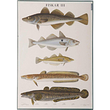 "Antique Swedish School, Teaching Chart, Poster ""Fishes III"""