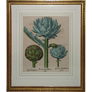 "Original Framed ""Cinara Major Boloniensis"" Engraving by Basilius Besler"