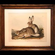 19th Century Audubon: Rocky Mountain Hare