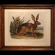19th Century Audubon: California Hare