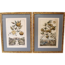 Pair of Citrus Engravings, Restrikes of Original Early 18th Century Plates