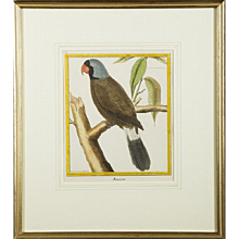 """Mascarin,"" Parrot Copper Plate Engraving by François Martinet"
