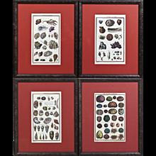 Set of Four Original 18th Century Handcolored Sea Shell Engravings