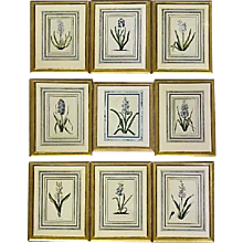 Set of Nine Framed 18th Century German Botanicals- Hyacinths from the Hortus Nitidissimis